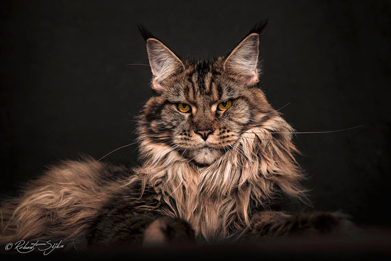 "Strikingly Beautiful Portraits of ""Cats Kings"" - Maine Coons - Quiet Corner"