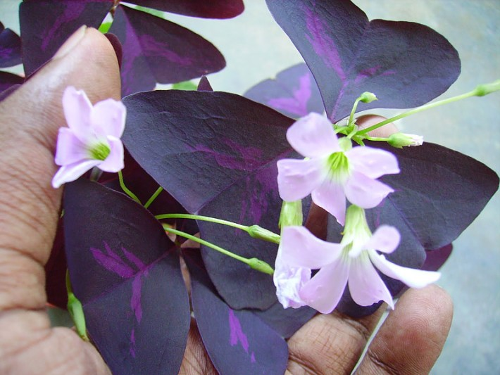 Magical Purple Shamrock - Info and Care