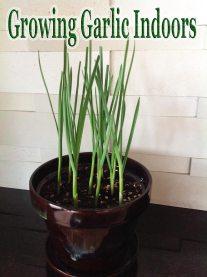 Growing Garlic Indoors