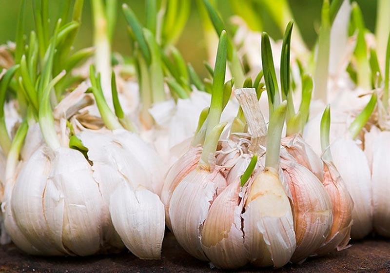 Quiet Corner Growing Garlic Indoors Quiet Corner