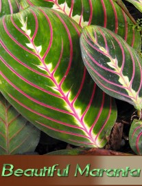 How to Grow and Care for Beautiful Maranta Indoors