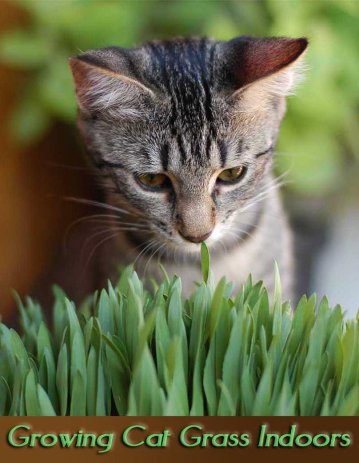 Growing Cat Grass Indoors