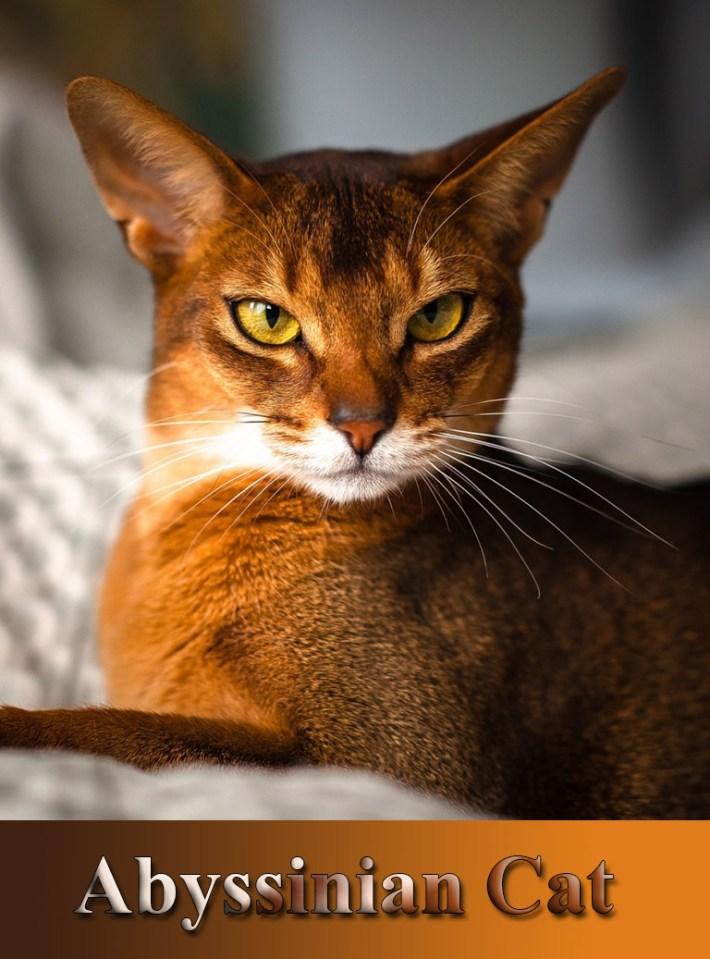 Quiet Corner Breed Profile Magical Abyssinian Cat