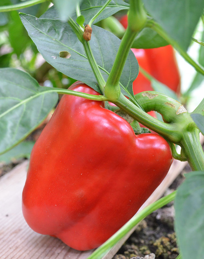 Bell Peppers – Growing Guide