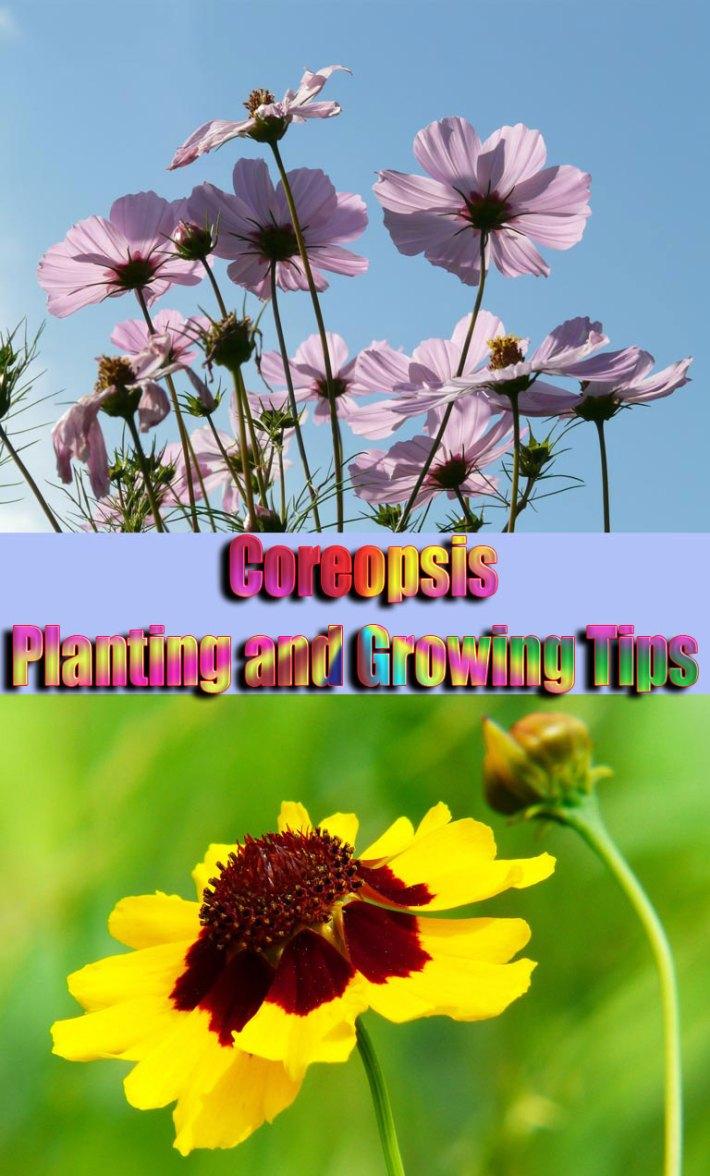 Quiet Cornercoreopsis Planting And Growing Tips Quiet Corner