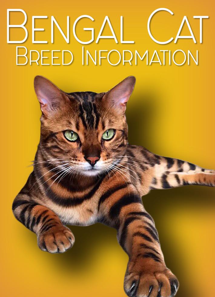 Bengal Cat - Breed Information - Quiet Corner