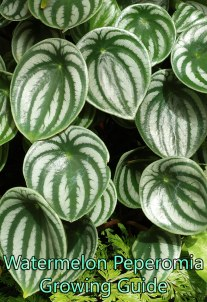Watermelon Peperomia - Growing Guide