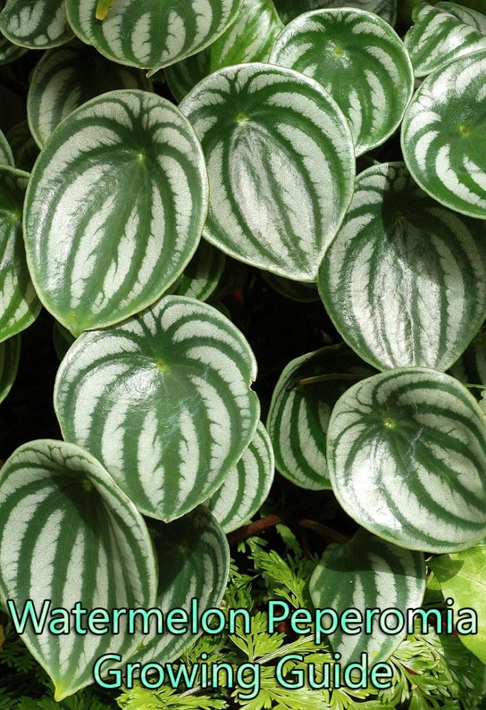 Watermelon Peperomia – Growing Guide