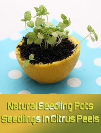 Natural Seedling Pots: Seedlings In Citrus Peels