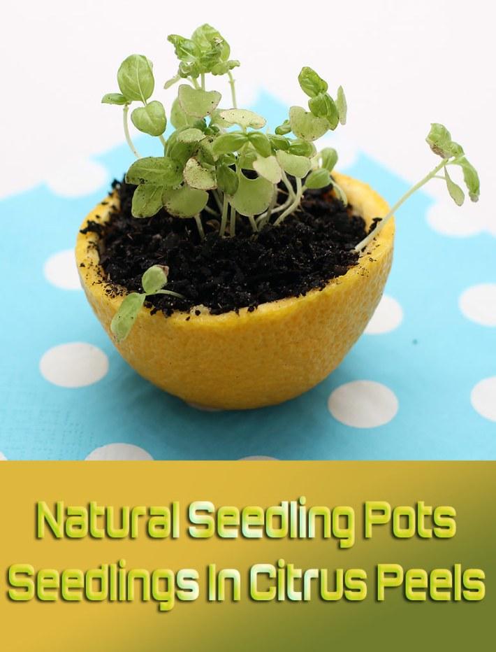 Natural Seedling Pots: Seedlings In Citrus Peels