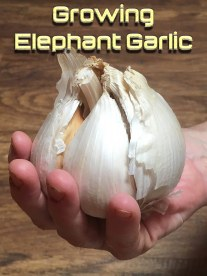 Growing Elephant Garlic