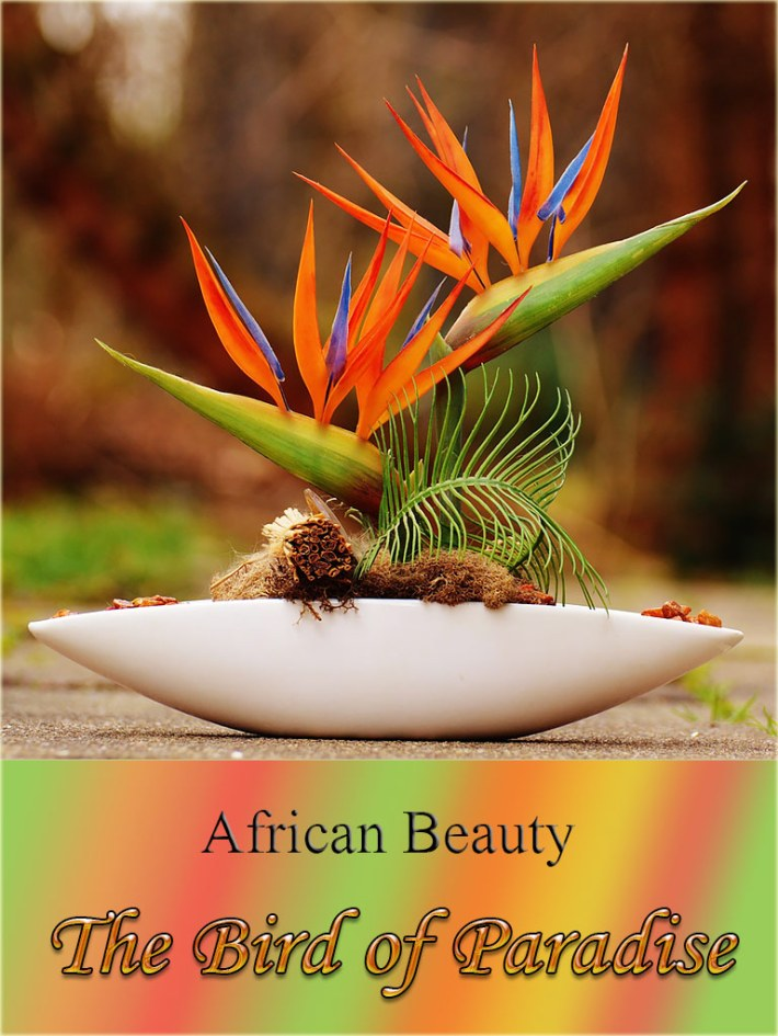 The Bird of Paradise – African Beauty