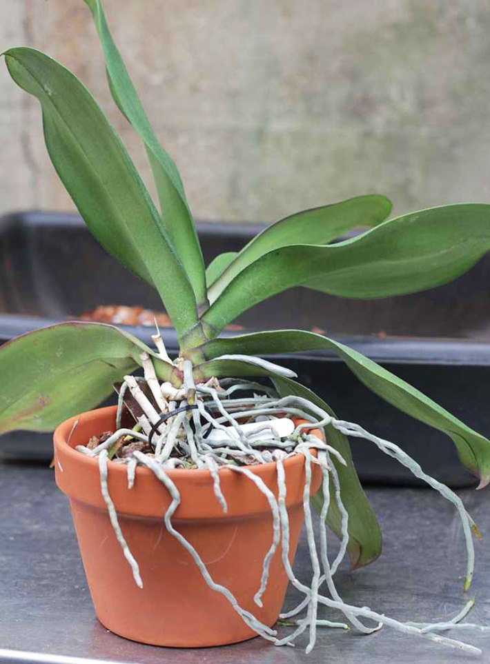 Moth Orchid - Care Tips, Propagating & More