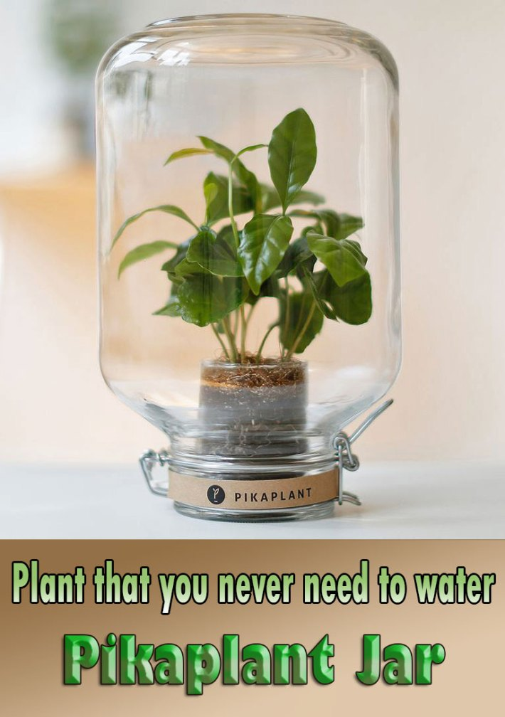 Plant that you never need to water – Pikaplant Jar
