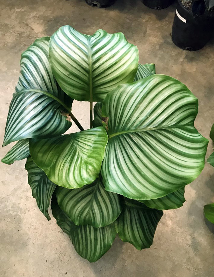 How to Grow and Care for Calathea Orbifolia 2