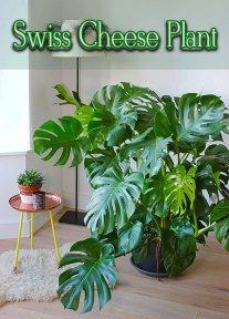 Monstera Deliciosa - The Swiss Cheese Plant
