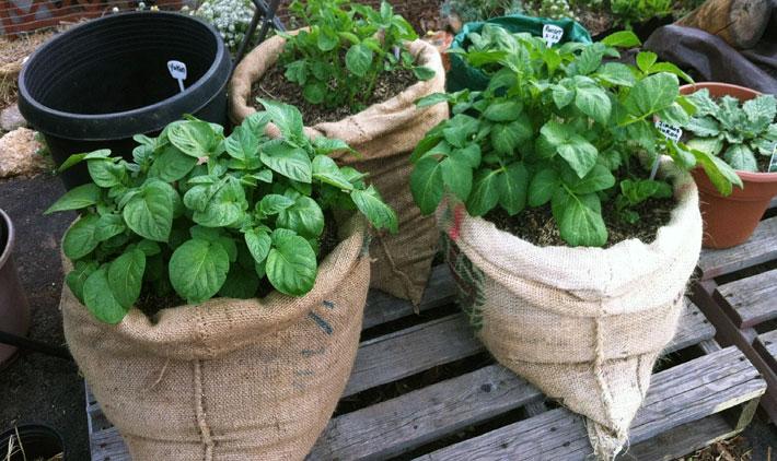 Growing Potatoes In Bags