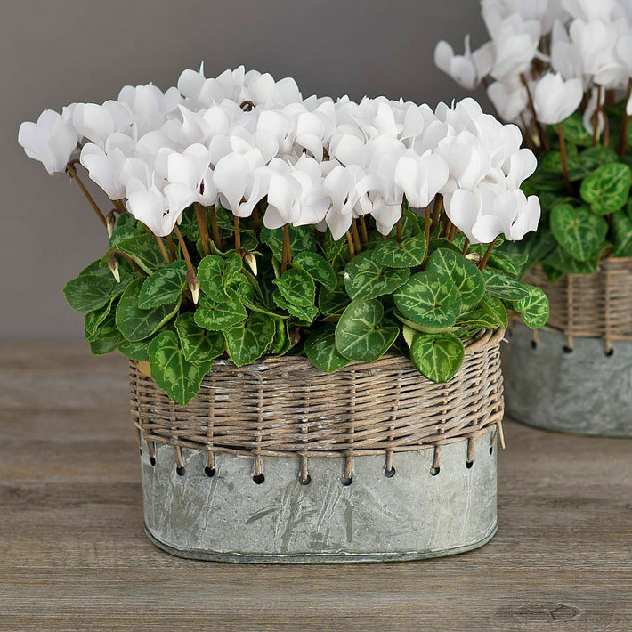 Cyclamen - Charming and Colorful Houseplant