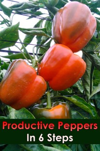 Productive Peppers In 6 Steps