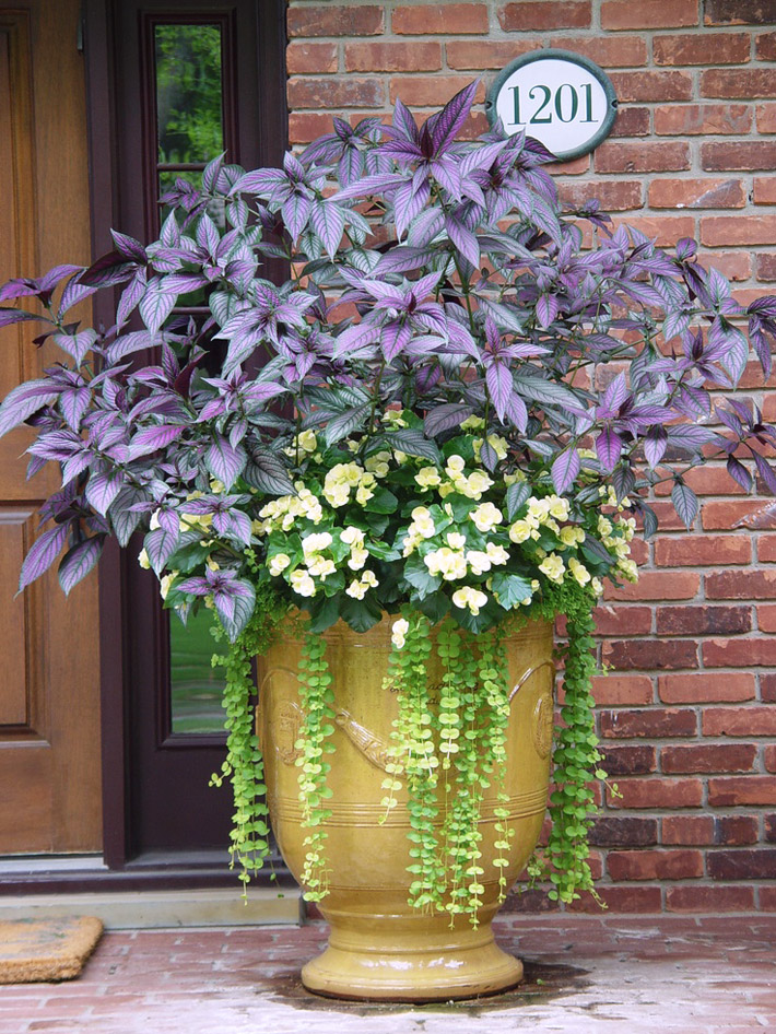 How To Grow & Care For Persian Shield