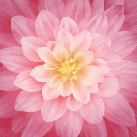 Rose Dream Big Flower Panel