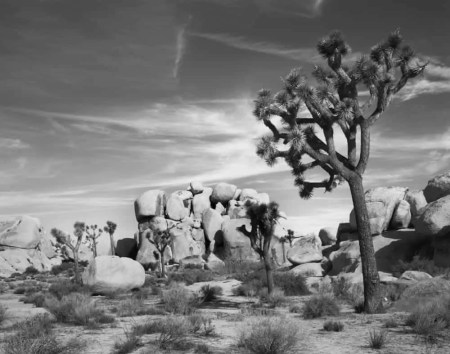 Joshua Tree and Rocks
