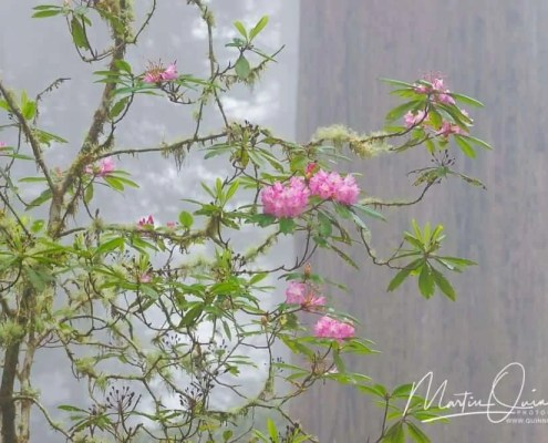 Rhododendron and Redwoods