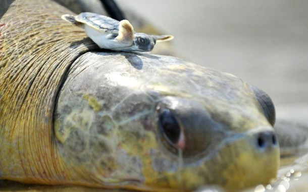baby turtle on big turtle