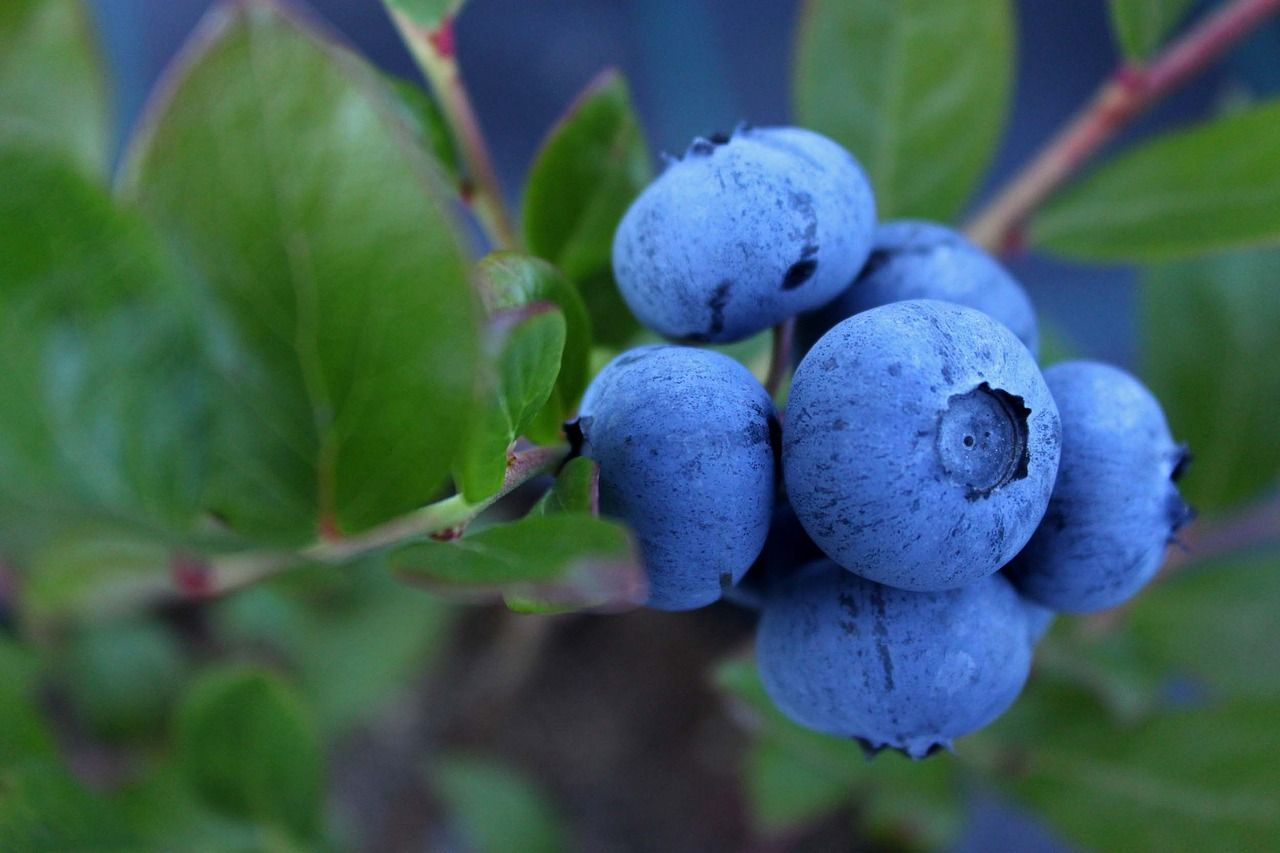 Cooked Blueberries Taste Different From Raw – Why Different?