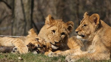 Photo of Leones del zoológico de Pittsburgh dan positivo al coronavirus