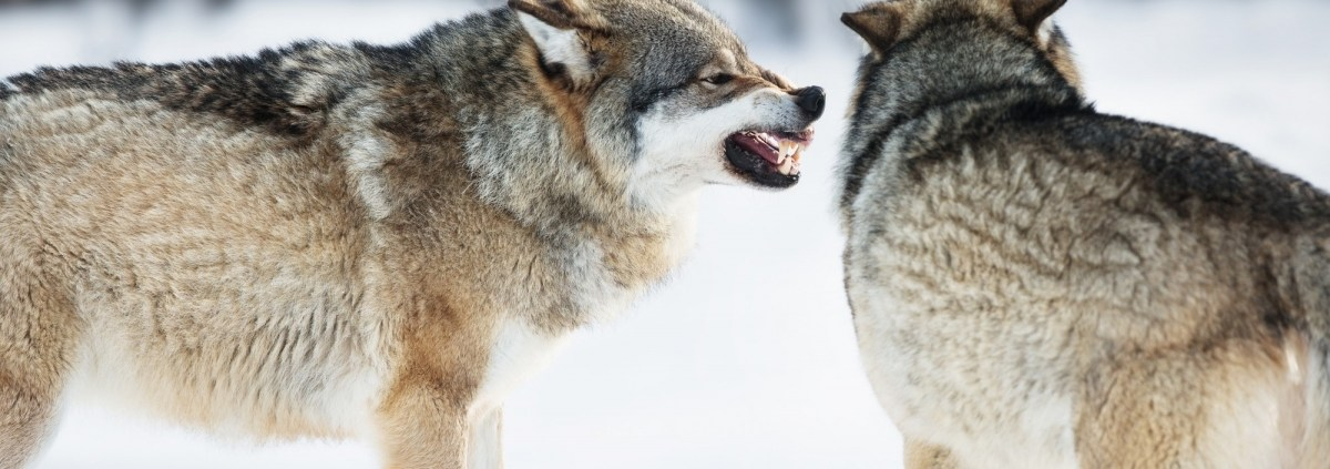 Angry wolves in winter forest