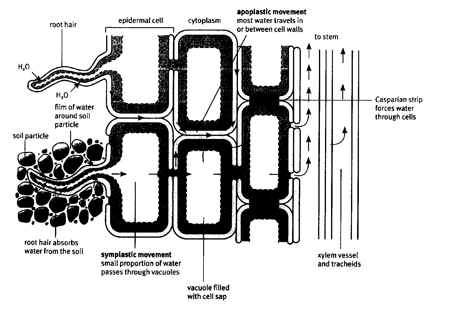 plant root hair diagram 1966 vw beetle engine meristematic tissue 2 1 anatomy of dicotyledenous by