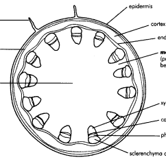 Plant Stem Diagram Worksheet 1991 Gmc Sierra Tail Light Wiring Internal Structure Of The Dicotyledonous By Openstax