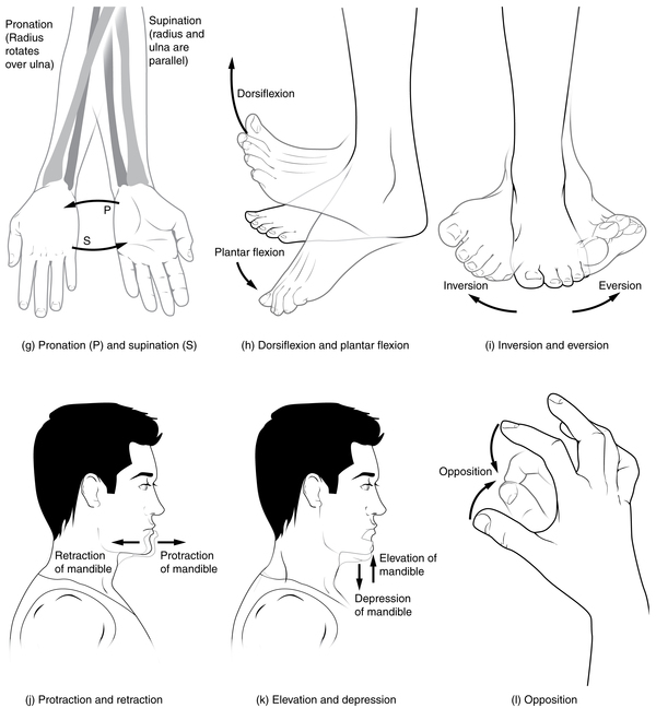 superior rotation, Types of body movements, By OpenStax