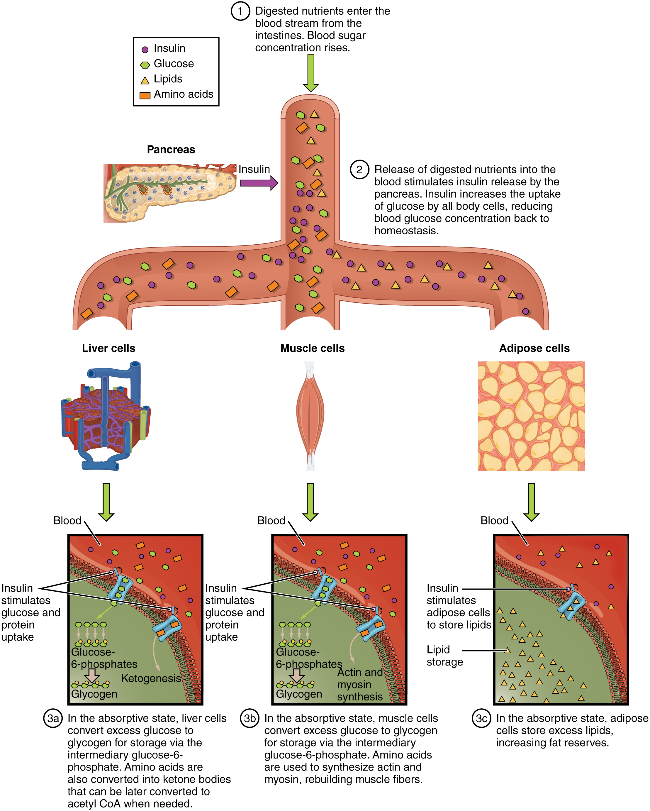 liver panel diagram wiring standards chapter review metabolic states of the body by openstax
