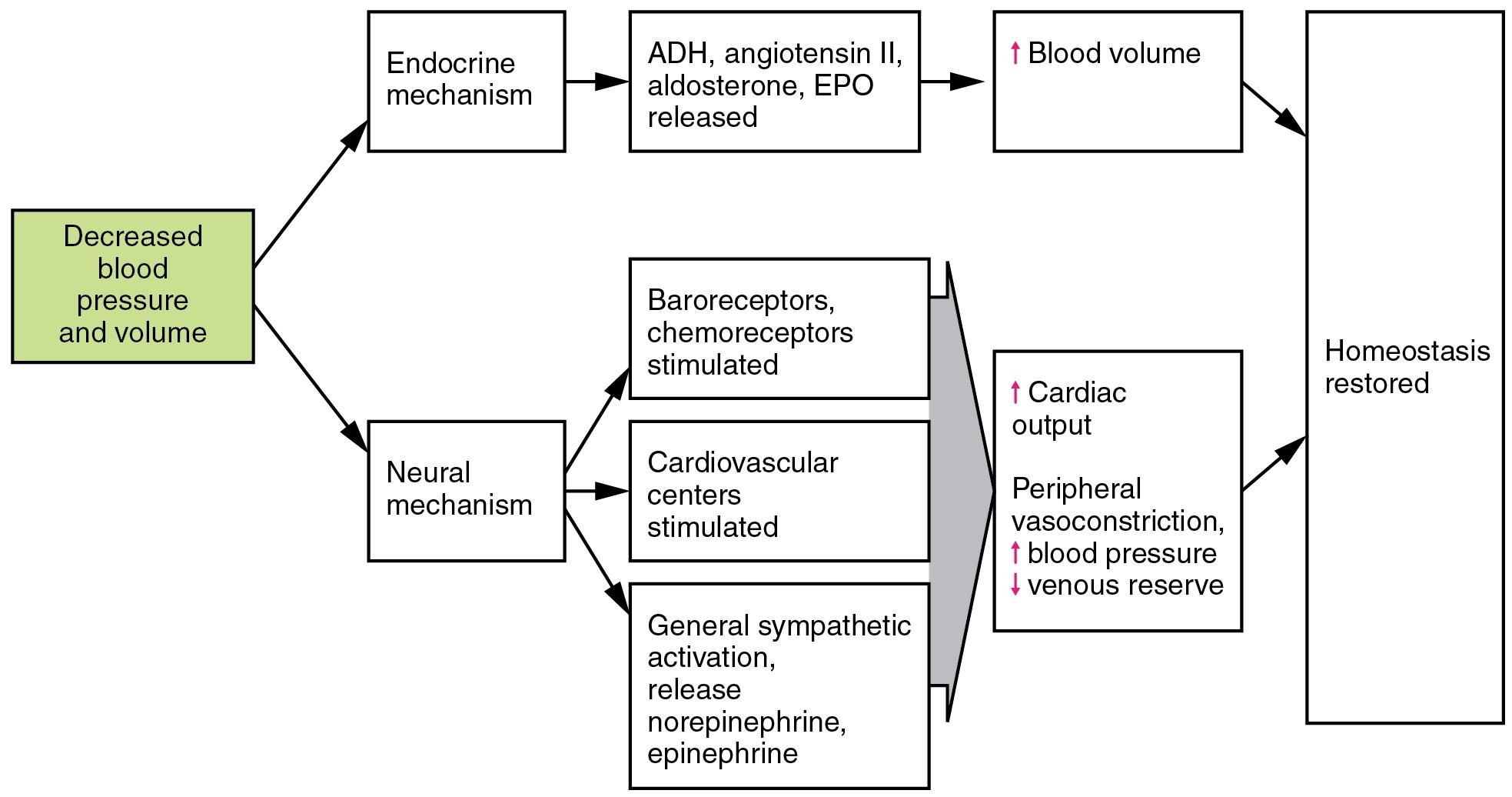 Circulatory shock, Homeostatic regulation of the vascular