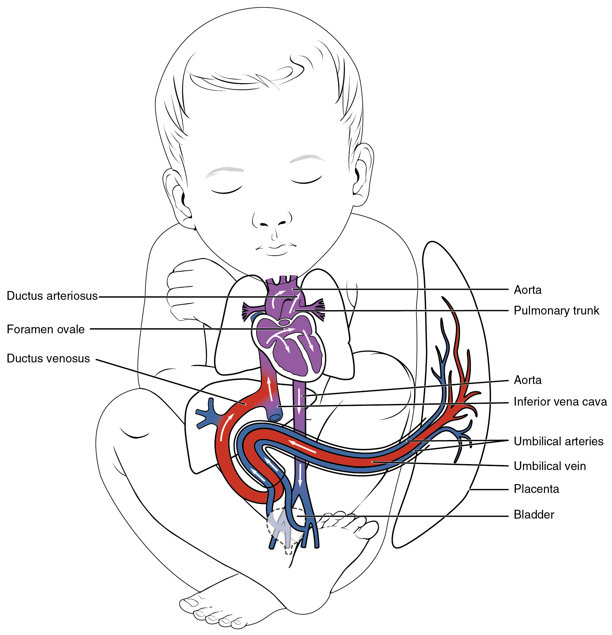 The Ductus Venosus Is A Shunt That Allows By