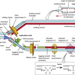Blank Dna Diagram How To Draw Home Wiring True False Replication By Openstax Page 6 12