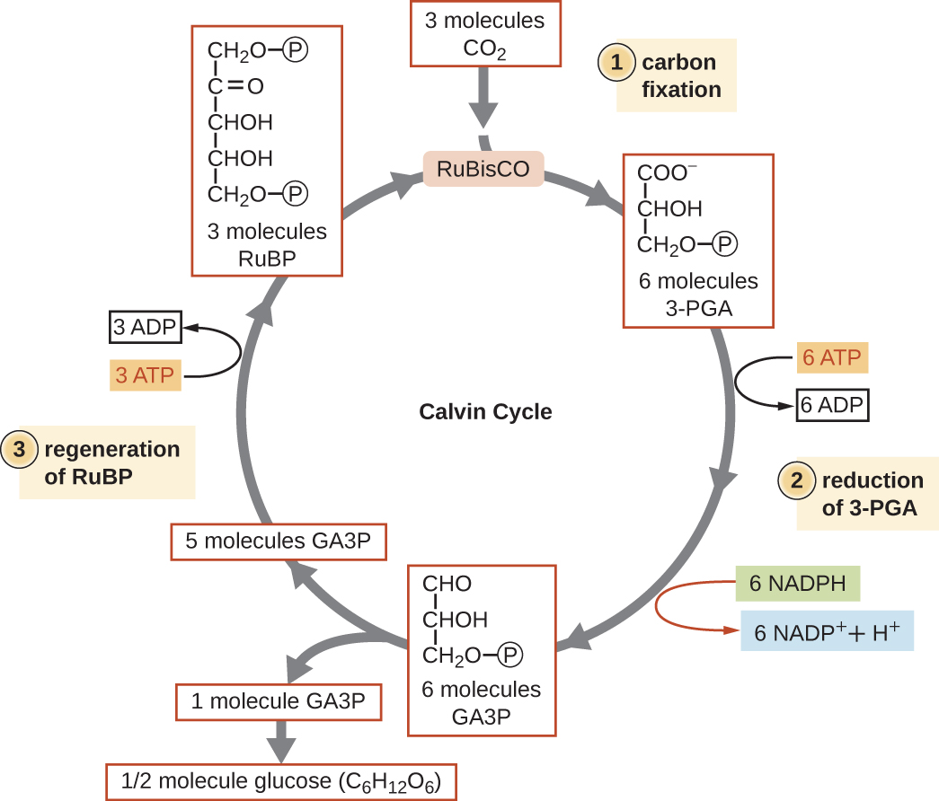 calvin benson cycle diagram blue star package ac wiring tca metabolic pathways by openstax quizover