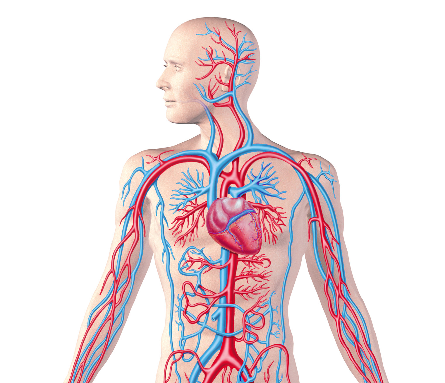 Quotes About Circulatory System 29 Quotes