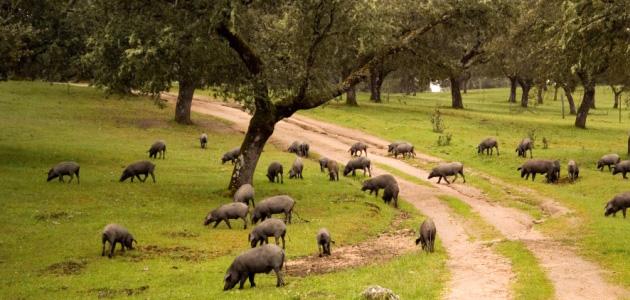 Ruta del Jamón Ibérico por el Valle de los Pedroches