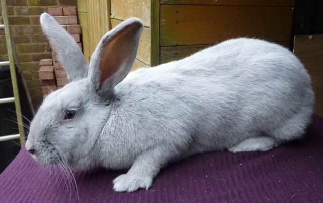 Beveren Rabbit Breed - Adopt a Rabbit