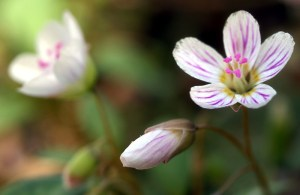 Carolina_Spring_Beauty__Claytonia_caroliniana_800
