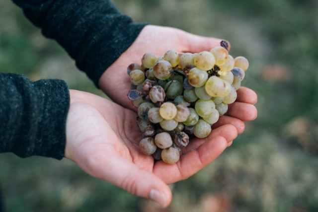 crop gardener showing handful of grapes