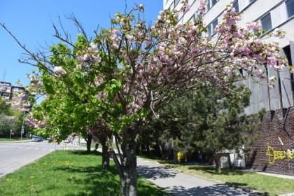 Čerešňa pílkatá sakura Bratislava Rača Krasňany alej