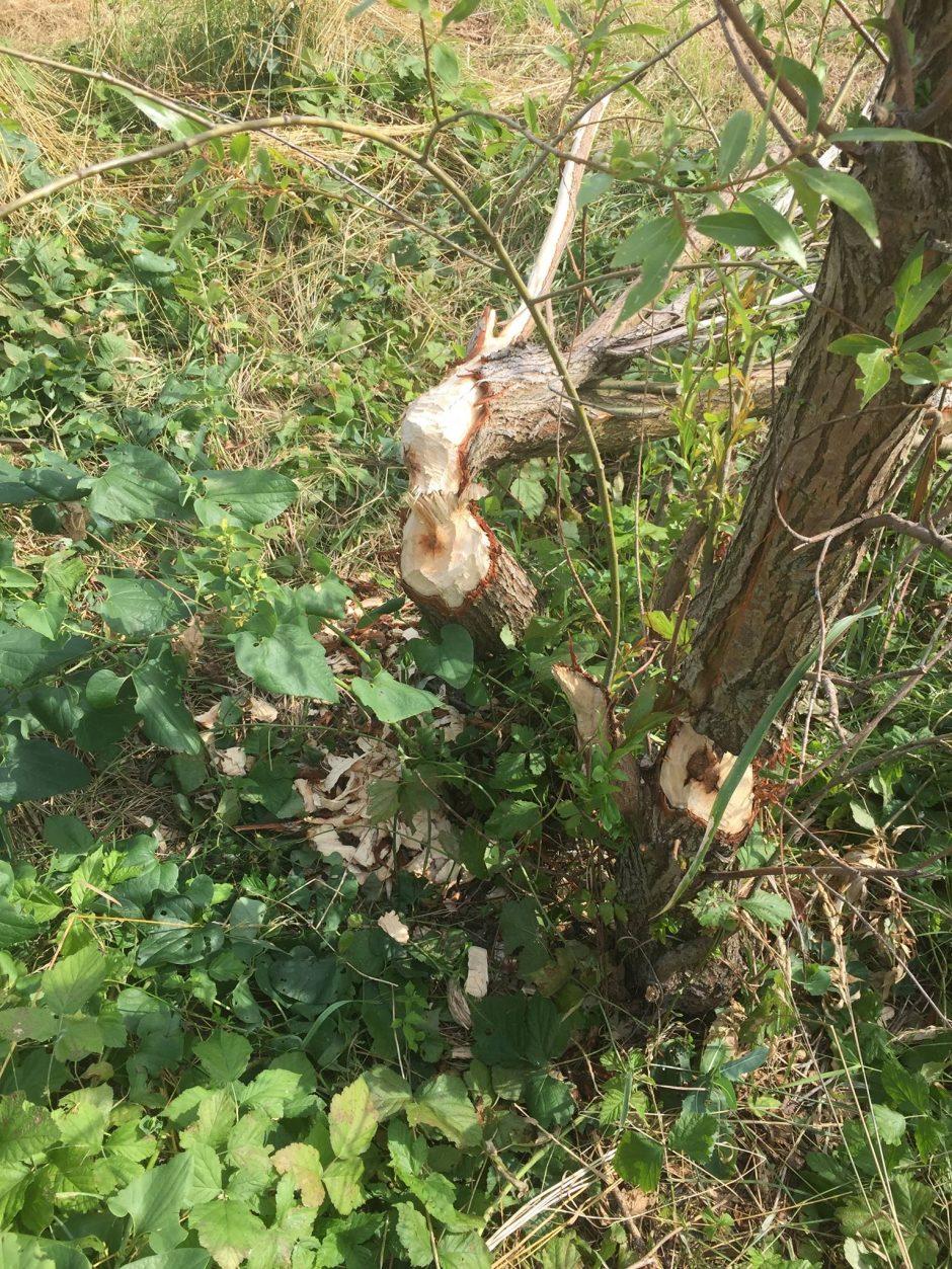 Obhryzené stromy pri Śúrskom kanáli naznačujú, že bobor z Rače buď migruje, ale sa ich v tomto území nachádza viacero.
