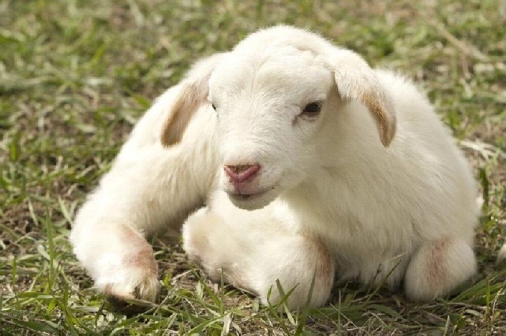 A Pasqua 4 italiani su 10 portano l'agnello in tavola
