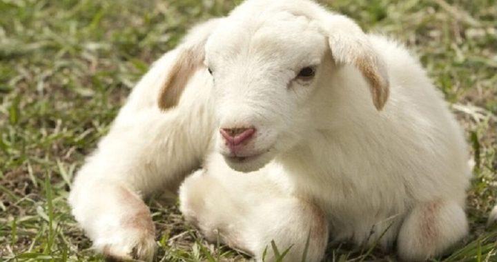A Pasqua agnello in tavola per 4 italiani su 10
