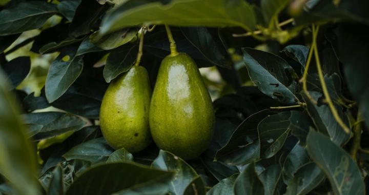 Una possibile via contro la leucemia dall'avocado