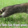 How to keep raccoons away click for details how to keep raccoons out